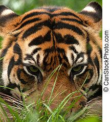 Tiger eyes - eye contact through the grass