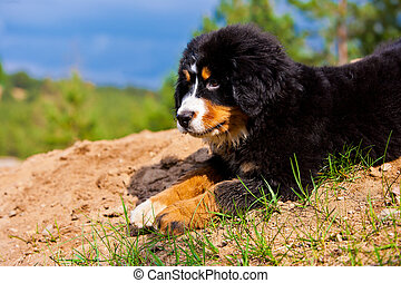 Bernese Mountain Dog - A Bernese Mountain Dog puppy.