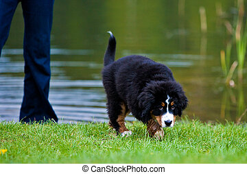 Bernese Mountain Dog - Bernese mountain dog sad in the grass