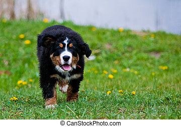 Bernese Mountain Dog - Bernese mountain dog happily running...
