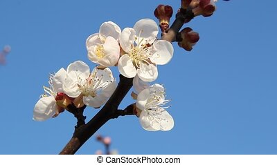 Bee on flowering apricot