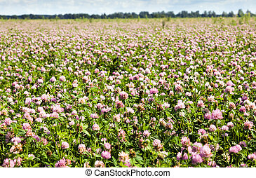 Clover - Field on which grow up a clover for animals