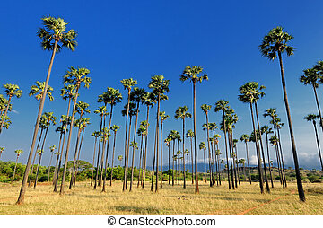 Palm Trees - Rows of Palm Trees at a Azhwarkurichi Tamilndu...