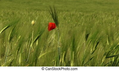 Lone flower - A lone red flower grows in a wheat field