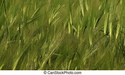 Green wheat - Beautiful green wheat swaying in the wind