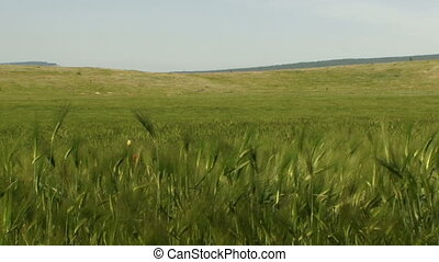 Beauty of the green - Beautiful green wheat swaying in the...