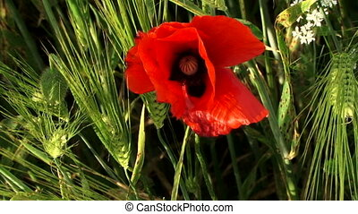 Poppy flower among the wheat - A lone red flower grows in a...
