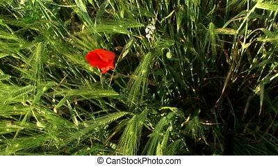 Beautiful red flower - A lone red flower grows in a wheat...