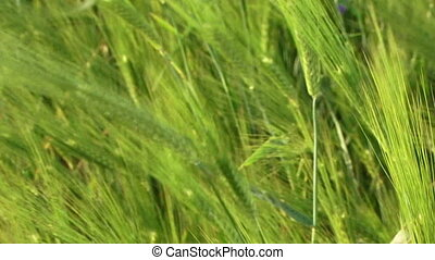Swaying wheat spikelets - Beautiful green wheat swaying in...