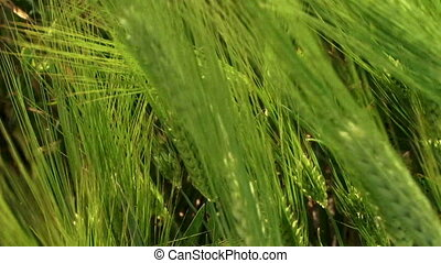 Green harvest - Beautiful green wheat swaying in the wind
