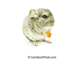 gray chinchilla isolated on white
