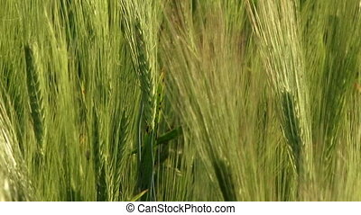 Spikelets of wheat - Beautiful green wheat swaying in the...