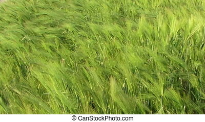 Sea wheat - Beautiful green wheat swaying in the wind
