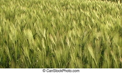 Ripening wheat crop - Beautiful green wheat swaying in the...