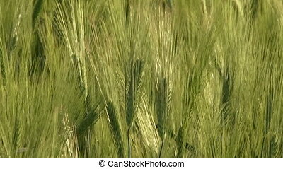 Growing grain - Beautiful green wheat swaying in the wind