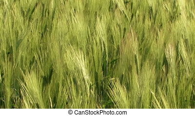 Agriculture - Beautiful green wheat swaying in the wind.