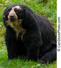 Wasn\'t me! - Andean Bear
