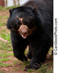 walkin n talking - Andean Bear