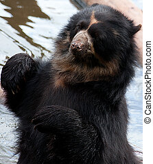 Do you mind im bathing - Andean Bear