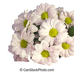 chrysanthemum on a white background - beautiful pink...