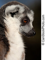 Deep Thought - Ring Tailed Lemur