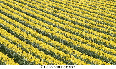 Daffodils flowers field. - Rows of flowering yellow daffodil...