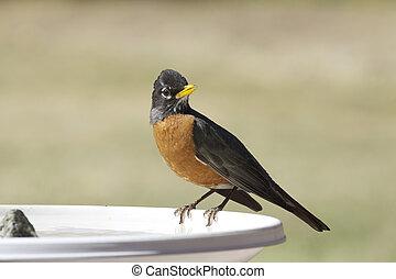 Robin at Bird Bath - a robin perched on the edge of a bird...