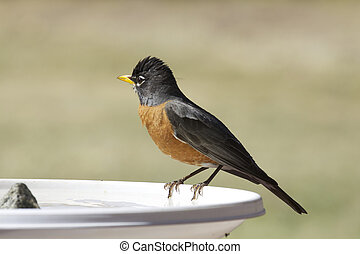 Robin at Bird Bath - an american robin perched on the edge...