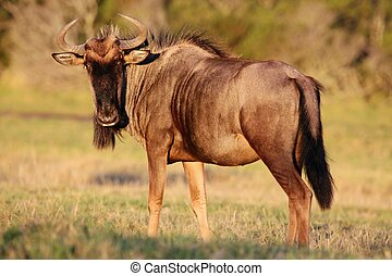 Wilderbeest Antelope - Wilderbeest antelope in the late...