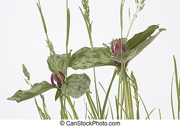 Wildflower - Close up of a wildflower isolated