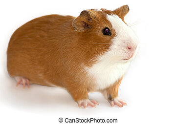 guinea pig focus on the face on white background