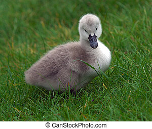 Cygnet on grass in Spring