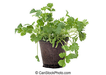 cilantro in pot isolated - Cilantro also know an coriander...