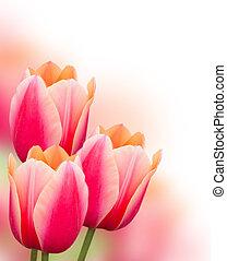 Beautiful pink tulips background - Beautiful pink tulips...