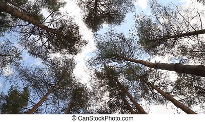 pine trees swaying in the wind, sky
