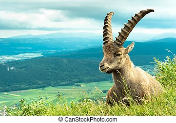 Wild animal goat against mountains