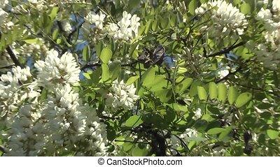 Acacia Tree - Acacia good honey plant