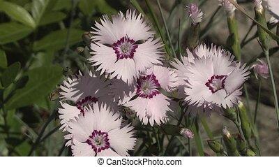 carnation, - pink flower carnation