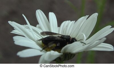 bee - Bee on the chamomile flower