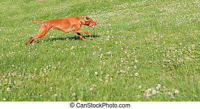 Vizsla Dog Running in the Grass - A Vizsla dog Hungarian...