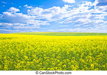 Yellow field rapeseed in bloom with blue sky and white...