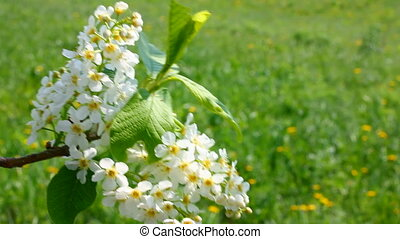 blossom bird cherry tree branch