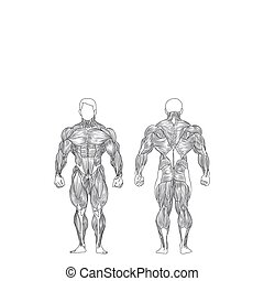 Male Muscles - vector male muscles on white background