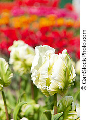 Original white tulips - special white parrot tulips in the...