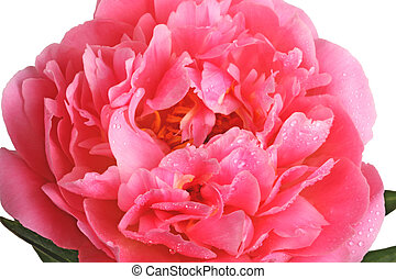 Pink peony close-up - Close-up of a double-flowered pink...