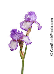Stem of purple iris flowers isolated on white - Stem of two...