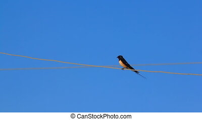 swallow bird