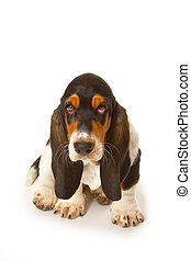 Cute basset puppy on white background - studio shot