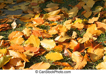 Autumn leaves - Autumn colorful leaves from beech tree...