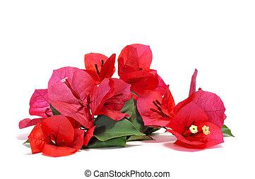 bougainvillea flowers - some bougainvillea flowers on a...